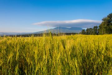 Rwanda, Virunga National Park, ears of wheat field