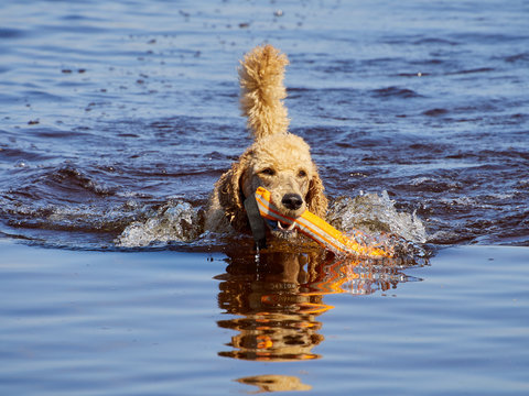 Standard poodle swimming on dog rescue service water training. Playing with an orange fetching toy in a lake  on a sunny summer day in Finland.