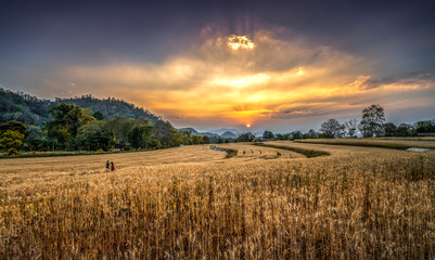 Landscape golden wheat field in sunset at Samoeng, Chiang Mai, Thailand, Cultivation in the Thailand country. Farm land.