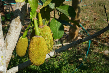 fresh green Jackfruit ( Artocarpus heterophyllus ) hanging on brunch tree in the garden.Jackfruit growing on the tree.