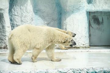 Polar Bear(Ursus maritimus) in Tropical Exhibit