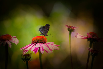 panoramic view - the garden with Echinacea flowers and butterfly
