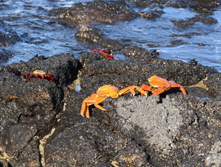 Sally lightfoot crabs Grapsus grapsus on rocks by the sea