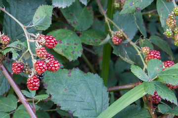 Fototapete - Ripening daily, wild blackberries grow along the sides of the road and offer a great opportunity for gleaning.