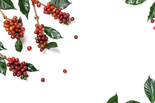 Close up fresh organic red coffee beans with coffee leaves isolated on white background with copy space