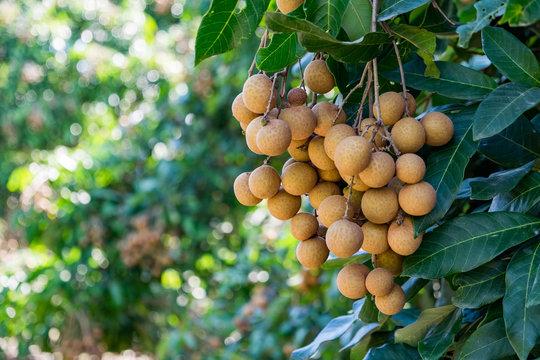 Longan orchards - Tropical fruits young longan in Thailand