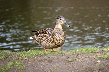 Duck in the park at spring, Poland