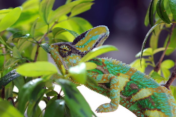 Chameleon Behind Leaves