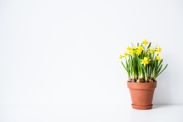 Spoed Fotobehang Narcis Fresh natural yellow daffodils in ceramic pot on white table near empty wall