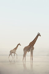 Two giraffes walking on a beach with calm water and fog. A baby giraffe and adult giraffe standing in the water. Wild animals, nature.