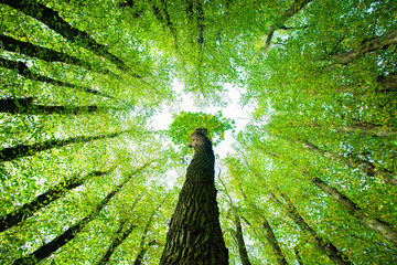 Looking up into the Canopy of a Green Forest of Oak and Lime Trees