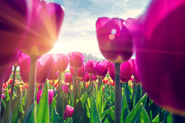 Foto op Plexiglas Tulp Beautiful spring landscape with tulips in the fields of Holland close-up.