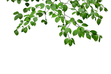 Green leaves and branches isolated on white Wall mural