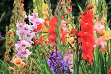 gladiolus gladioli flower many flowers growing spring summer sword lily group stock, photo, photograph, image, picture
