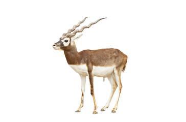 Garden Poster Antelope Blackbuck isolated on white background