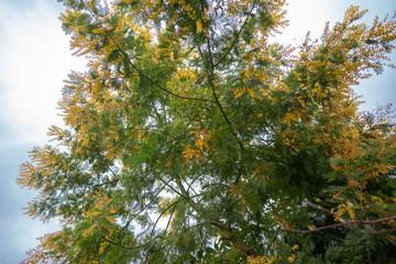 mimosa in the garden