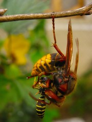 Hornet eats wasp hanging on one foot on a branch close up