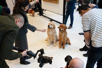 Golden Retrievers pose for photos at the American Kennel Club's Museum of the Dog during an unveiling of the clubs' most popular breeds in New York