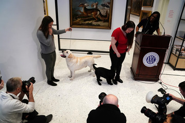 Labrador Retrievers are announced the most popular breed as they pose for photos at the American Kennel Club's Museum of the Dog during an unveiling of the clubs' most popular breeds in New York