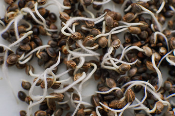 close-up macro. Marijuana seeds. Hovering Hemp. Germinated cannabis seed. Sale of cannabis seeds. Details Root on a white background. Macro photo cultivation seeds. Many sprouting cannabis seeds.