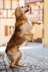 Golden retriever dog on hind legs