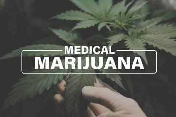 Medical marijuana, background green, marijuana leaves, marijuana vegetation plants hemp, cultivation cannabis, Growing cannabis indica,
