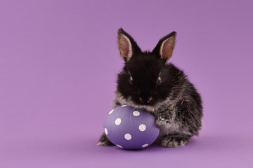 Black baby bunny rabbit with purple painted polka-dotted egg on green background. Easter holiday concept.