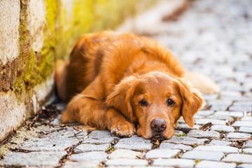 Dog lying on a cobblestone