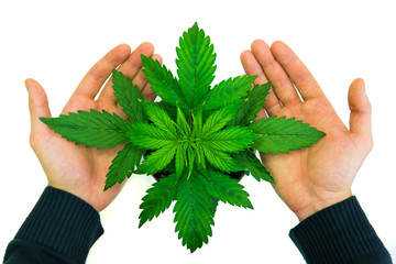Cannabis on a white background. Beautiful background. Indoor cultivation. Man's hands on Cannabis Plant Growing. Vegetation period. Marijuana leaves. Top view.