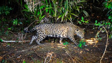 Big Five Jaguar Pantanal Brazil Safari Leopard Wild Animal Exploring Wildlife