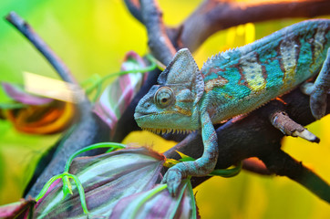Chameleon on a tree branch. Successful disguise under a multi-colored environment