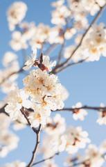 Spring, flowering of trees. Apricot. Spring flowers. Sunlight.