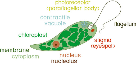 Diagram of Euglena. Structure of Euglena viridis with titles