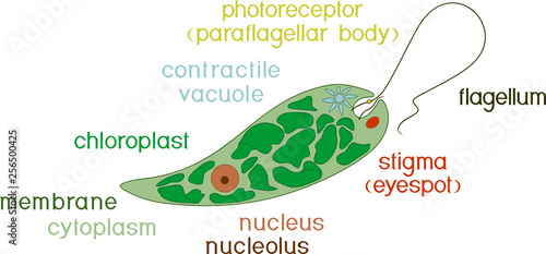 Diagram Of Euglena Structure Of Euglena Viridis With Titles