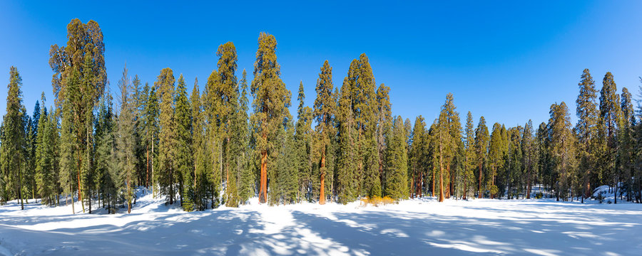 beautiful old sequoia trees in winter