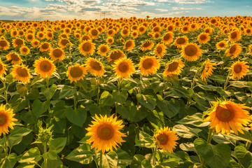Wall Mural - Blooming sunflower crop field