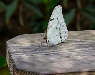White Morpho Butterfly sitting on a Weathered Board