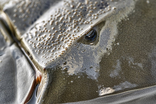 Macro photo of forepart of amazing horseshoe crab
