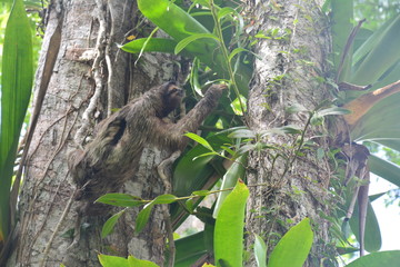 Paresseux Bocas del Toro Panama - Sloth Carenero island Panama
