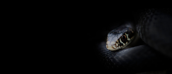 banner on black with photo of lurking snake