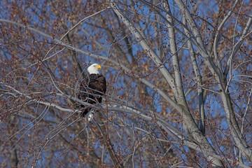 Bald Eagle at Rest