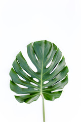Tropical green leaf Monstera on white background. Flat lay, top view