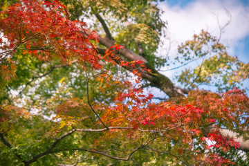 Red maple leaves branch in autumn on a blurred background at Kiyomizu Garden in Kyoto, at the famous buddhist temple on Mount Otowa, Japan.