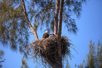 Bald eagle Haliaeetus leucocephalus feeds the eaglets in their nest of chicks