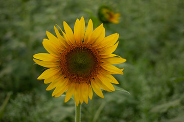 Beautiful sunflowers bloom in a sunflower field on a late summer day. high angle view, low angle view