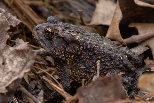 An American toad enjoys a warm day in the forest as spring begins at Yates Mill County Park in Raleigh, North Carolina.