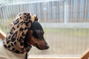 black dog wearing clothes(hoodie) / miniature pinscher - pets simple lifestyle