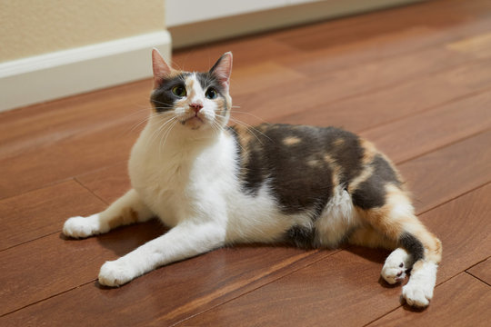 A young curious and playful manx calico cat with green eyes is sitting on a hardwood floor and looking up