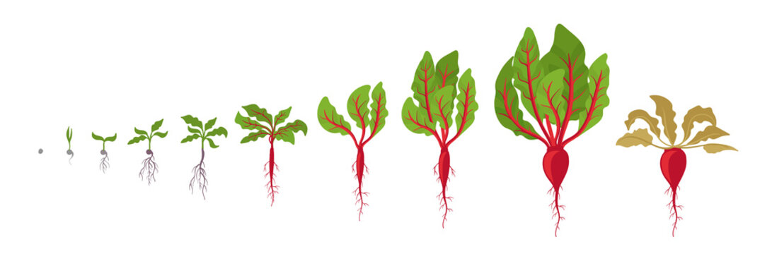 Beet growth stages. Planting of red beetroot plant. Beet taproot life cycle. Vector illustration on white background. Beta vulgaris.