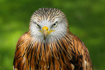 Red Kite (milvus milvus) close up portrait Fotoväggar